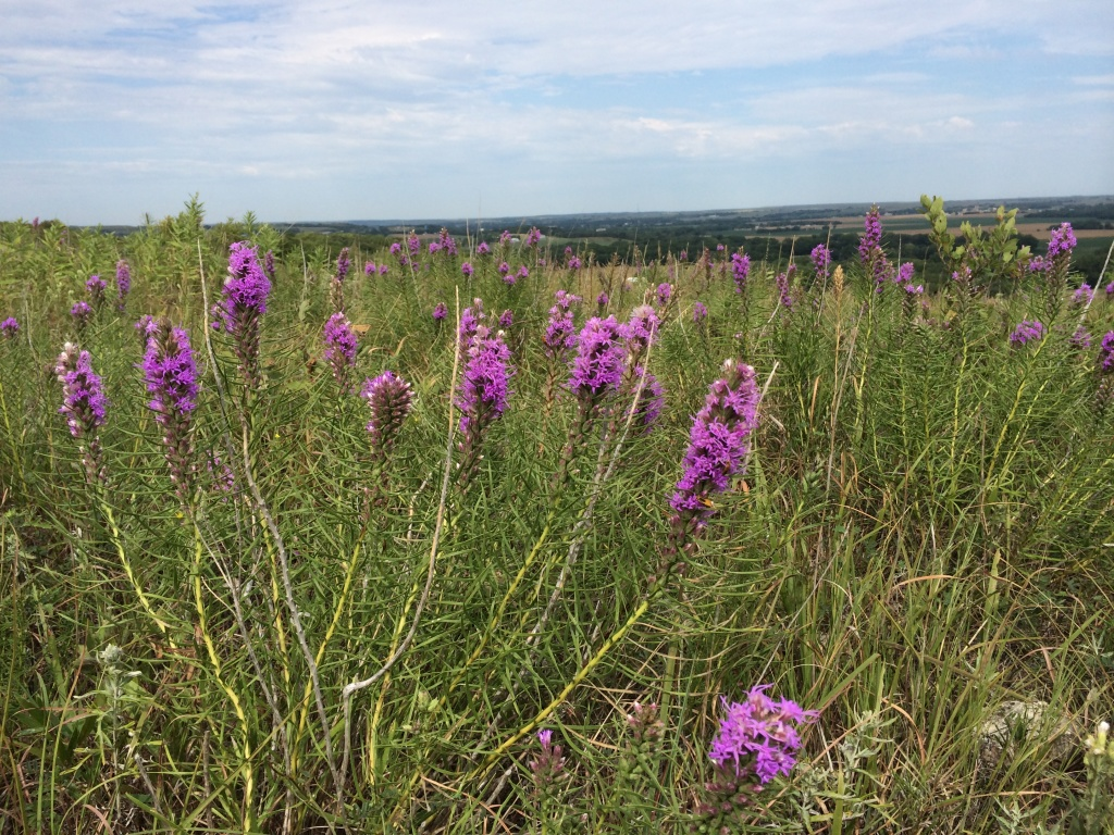 Flint Hills Wildflowers Purple Gayfeather