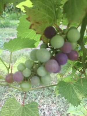 Kansas Marquette Wine Grape Beginning Veraison in the Vineyard at Prairie Fire Winery