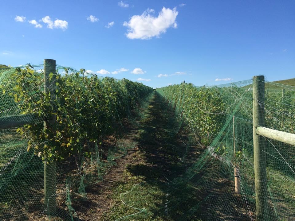 Kansas Vignoles ready to make great Kansas Wine!