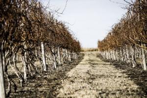 Prairie Fire Vines
