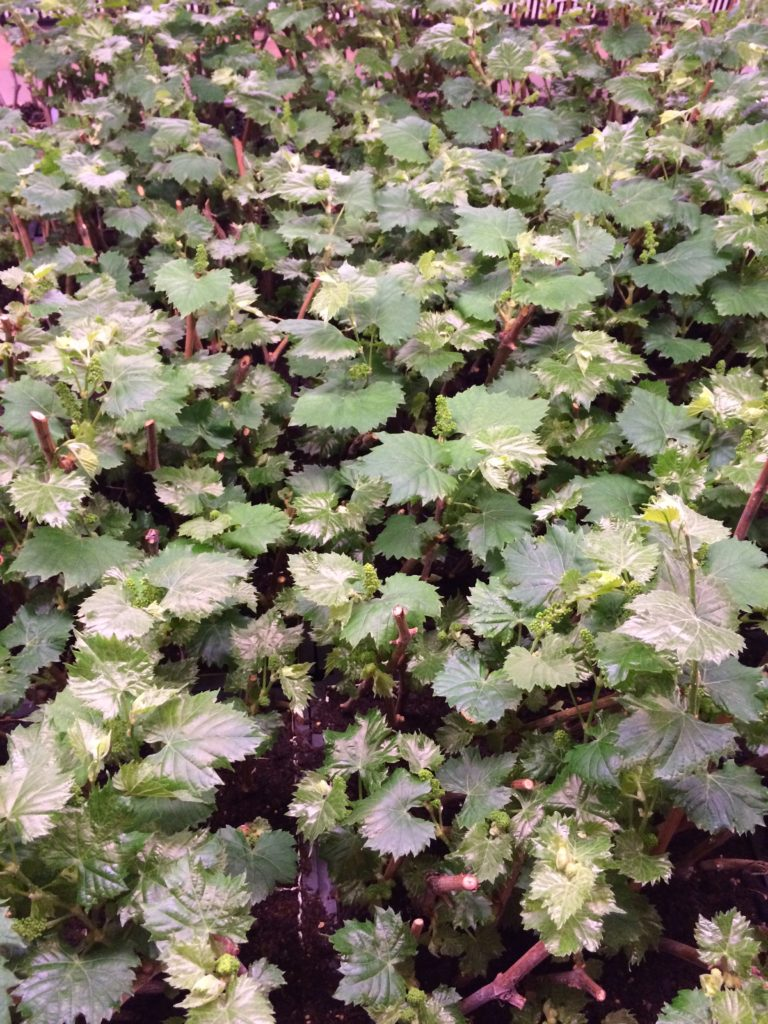 Kansas vine cuttings from Prairie Fire Winery's Vineyard. Approximately 5 weeks old.