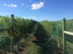 Our Vignoles is netted and ready for harvest!